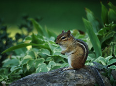 Checkin' Things Out (NikonNatureGal1357) Tags: wild life chipmunks garden woodland creatures momma young green foliage railroad ties small creature zoom lens minolta camera digital 7d cny photographer lexypage photography syracuse new york