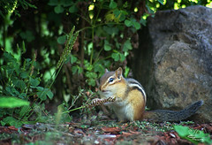 Worked Up An Appetite (NikonNatureGal1357) Tags: wild life chipmunks garden woodland creatures momma young green foliage railroad ties small creature zoom lens minolta camera digital 7d cny photographer lexypage photography syracuse new york