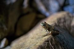 Frog In The Cave (luke.me.up) Tags: nikon z6 nikonz6 nikonmirrorless frog reptile amphibian