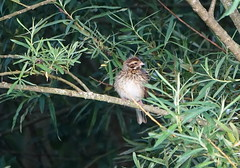 Reed Bunting (Ian Robin Jackson) Tags: bird nature reedbunting scotland birds wildlife aberdeen sony zeiss night nocturnal outside nights trees rspb leaves greens