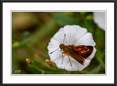 """la Sylvaine : """"Vous ne toucherez point un papillon sans faire tomber la poudre qui colore ses ailes ; vous n'analyserez point l'amour sans en faire évanouir le charme. """" : De Octave Pirmez (** Capo Jean-claude * <°)))) ><) Tags: soe the magic eye mordus de photos flickr simply amateur photo france superb jean claude capo photographie passion talent hdr addicted super award capojeanclaudeyahoofr photographes amateurs monde better than good juste image least beautiful syou want perfect composition only your best inoubliable landscapes word mesplusbellesphotos passiondévorante macro nature lieux nationalgeograplicworld wide artcity artists sylvaine papillon skippers macrophotographie"""