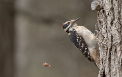Pic chevelu // Hairy Woodpecker (Alexandre Légaré) Tags: pic chevelu hairy woodpecker picoides villosus oiseau bird avian animal wildlife nature nikon d7500 quebec canada