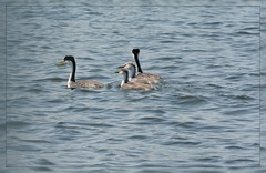 <~> Western Grebe Series - I. <~> (Wolverine09J ~ 1.8 Million Views) Tags: westerngrebes avianwildlife waterfowl nativespecies northamerican family swimming lakeosakis summertime nature parentsandyoung