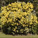 Scarborough Golden Wattle-1=