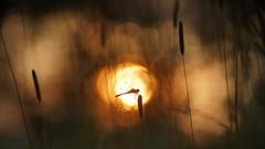 Bloedrode heidelibel voor een bloedrode zonsondergang. (look to see) Tags: bloedrodeheidelibel sympetrumsanguineum libel dragonfly bree belgium sunset zonsondergang goldenhour bokeh vintagelens meyeroptikgörlitzprimotar35180 mood bokehlicious