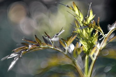 "WOLLENSAK 3"" (75mm) f1.9 OSCILLO-RAPTAR 1:0.9X (Vladimir Gazoukin) Tags: canada country close barrie bokeh backyard vladimirgazoukin flowers summer"