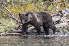Strolling (gecko47) Tags: animal bear grizzly ursusarctos riverbank chilkoriver female salmonrun hunting cariboochilcotincoast britishcolumbia autumn 2018 northamericanbrownbear mammals omnivore log treetrunk