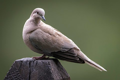 Collared Dove (sean4646) Tags: d500 nikon birds avian nature wildlife reddishvale tameside cheshire collareddove perch sunnysidepond
