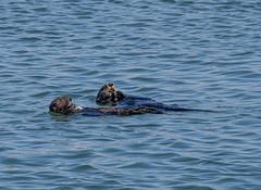 Sea otters (2) (Teelicht) Tags: seaotter seeotter enhydralutris usa vereinigtestaaten unitedstates california kalifornien mosslanding montereycounty