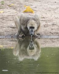 Chacma Baboon (Explored), Papio ursinus, Dete Vlei, Hwange, Zimbabwe (Jeremy Smith Photography) Tags: papioursinus chacmababoon detevlei hwangenationalpark hwange zimbabwe safari jeremysmithphotographycouk jeremysmithphotography jeremysmith reflection