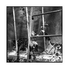 wild • vincennes, france • 2017 (lem's) Tags: wild plant plante sauvage serres greenhouses ruin ruine broken cassée urbex vincennes france rolleiflex t