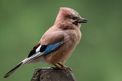 Jay (sean4646) Tags: d500 nikon birds avian nature wildlife reddishvale tameside cheshire jay perch sunnysidepond