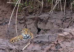 Jaguar (@Mark_Eveleigh) Tags: south america latin american peru peruvian amazon amazonas tambopata nationalreserve reserva nacional research centre center jaguar cat