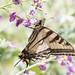 DSC_6566.jpg Western Tiger Swallowtail, Pajaro River