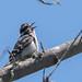 DSC_6588.jpg Downy Woodpecker, Pajaro River