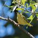 DSC_6614.jpg Yellow Warbler, Pajaro River