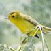 DSC_6642.jpg Wilson's Warbler juvenile, Pajaro River