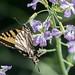 DSC_6778.jpg Western Tiger Swallowtail, Pajaro River