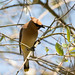 DSC_6863.jpg Cedar Waxwing, Pajaro River