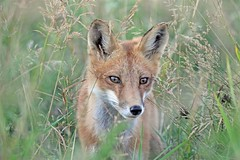Cupcake (marylee.agnew) Tags: red fox vuloes close prairie grasses pretty female outdoor sunshine wildife nature renard beauty