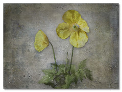 Mecanopsis (jrunions1) Tags: oil acrylic mixing canvas variation art image textured paint painted painting backgrounds rough messy drawing paints surface backdrop grunge mecanopsis welshpoppy texture