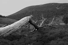 Fallen (steve_whitmarsh) Tags: aberdeenshire scotland scottishhighlands highlands landscape mountain hills bw blackandwhite monochrome trees topic