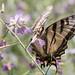 DSC_6575.jpg Western Tiger Swallowtail, Pajaro River