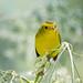 DSC_6635.jpg Wilson's Warbler juvenile, Pajaro River