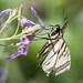 DSC_6781.jpg Western Tiger Swallowtail, Pajaro River