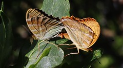 Butterflies (Hugo von Schreck) Tags: hugovonschreck ngc butterfly schmetterling insect insekt falter macro makro canoneosm50 tamronsp90mmf28divcusdmacro11f017