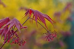 Japanese Maple in Spring (Acer Palmatum Bloodgood) (natureloving) Tags: japanesemapleinspring acerpalmatumbloodgood japanesemaple macro bokeh nature leaves dof spring printemps natureloving nikon d90 afsvrmicronikkor105mmf28gifed