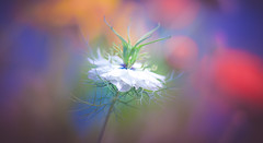 Colorful summer (Dhina A) Tags: sony a7rii ilce7rm2 a7r2 a7r jupiter 135mm f35 jupiter37a135mmf35 12blades 37a prime m42 jupiter37a flower bokeh summer nigella colorful colours