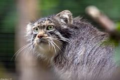 Chat des Steppes d'Asie (Phil du Valois) Tags: cat sauvage steppe asie otocolobus manul parcdesfélins félin wild wildlife faune chat