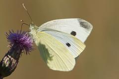 White butterfly (Håkan Jylhä (Thanks for +1000000 views)) Tags: håkan jylhä summer sommar sweden sverige sony rx10iv fjäril butterfly vit white natur nature