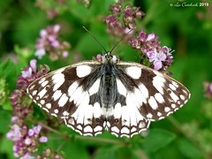 Marbled white (LPJC (away for August)) Tags: bedfordpurlieus northamptonshire uk 2019 lpjc butterfly marbledwhite
