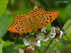 Silver-washed fritillary (LPJC (away for August)) Tags: bedfordpurlieus northamptonshire uk 2019 lpjc butterfly silverwashedfritillary