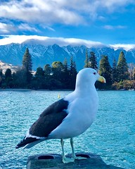 While awaiting for the sunshine for the day...☀️☀️ #Seagull in #Winter #Queenstown #Lake #KiwiTrip #Kiwiland #KiaOra #NZ #PureNewZealand #NewZealand (yongki_milanda) Tags: instagramapp square squareformat iphoneography uploaded:by=instagram