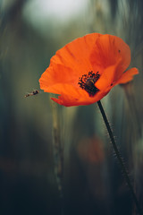 the day the earth stood still (christian mu) Tags: bokeh nature germany christianmu poppy 9028g 9028 90mm sony sonya7riii sonya7rm3 flowers summer