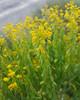 Woad (satis tinctoria) (fuzzballmaster) Tags: turkey cukurbag yellow flower woad isatis tinctoria