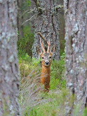 Red Deer Stag (mike_j's photos) Tags: deer aviemore scotland forest red