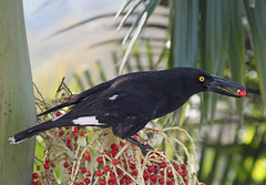Pied Currawong 020 (DMT@YLOR) Tags: bird currawong piedcurrawong berries bangalowpalm palm tree goodna ipswich queensland australia aussie wildlife avian outdoors outside black red green yellow pied tongue eye food feeding nature