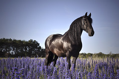 Black Beauty (FlorDeOro) Tags: nikon d90 photography horse equine flower field colorful detail nature gotland summer sweden mijarajc