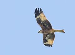 Red-kite-juv (Peter Warne-Epping Forest) Tags: milvusmilvus redkite raptor breeding birdofprey peterwarne essex