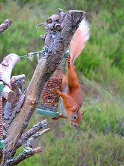 Red Squirrel (mike_j's photos) Tags: red squirrel scotland forest aviemore loch garton
