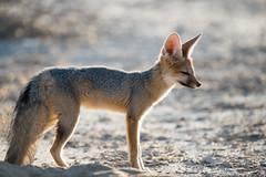 Cape fox! (Jambo53 ()) Tags: capefox crobertkok nikond800 backlit backlight tegenlicht earlymorning nikon d800
