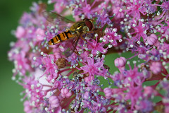 stripes (that Geoff...) Tags: stripes wasp insect hydrangea garden jardin nature canon 70d macro