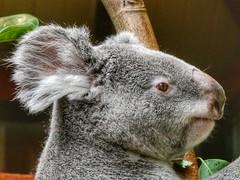 Queensland Koala (sander_sloots) Tags: phascolarctoscinereus koala queensland animal australia antwerp zoo antwerpen dierentuin bear koalabeer buidelbeer queenslandkoala cute antwerpsezoo panasonic dctz90 lumix aussie icon buideldier