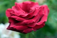 IMG_0506 (Abigail Miseldine) Tags: flower flowers green bloom blooms garden gardenflower rose red redrose