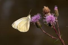 Papillon (clamar18) Tags: papillon insecte flower blanc mérysurcher vierzon france canal