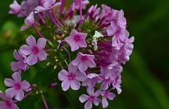 Flowers of July (Ringwald Péter) Tags: pink gree flowers macro nature summer ouside tamron nikon
